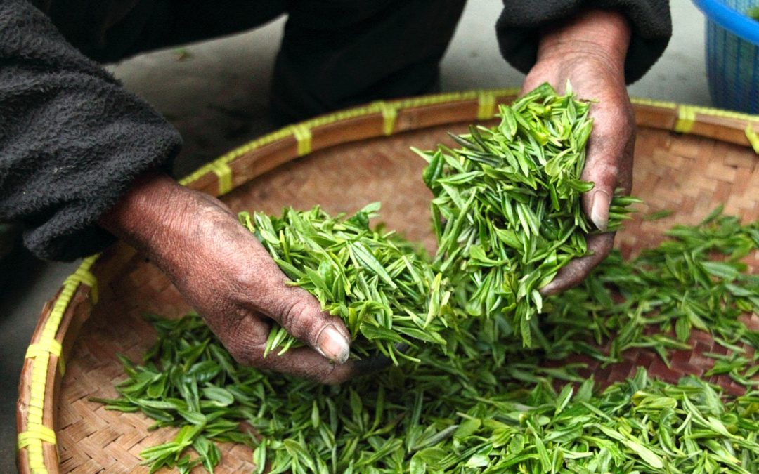 Żywieniowy powrót do przeszłości czyli przypadek zielonej herbaty